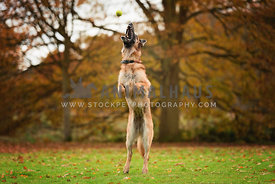 german shepherd dog jumping for tennis ball