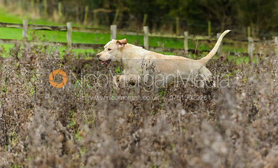 A Cottesmore hound near Lovers' Walk - The Cottesmore Hunt at Tilton on the Hill, 9-11-13