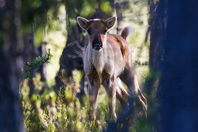 About one month old calf of Wild Forest Reindeer