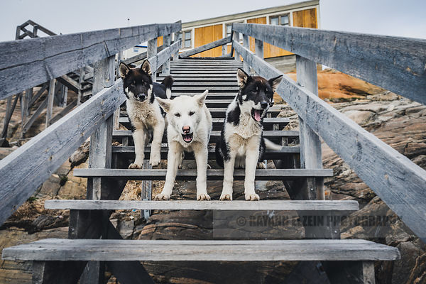 Greenlandic sled dog puppies waiting on the stairs to the guest house in Uummannaq in Greenland