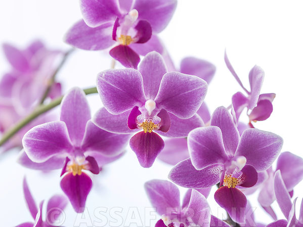 Ornate Orchids