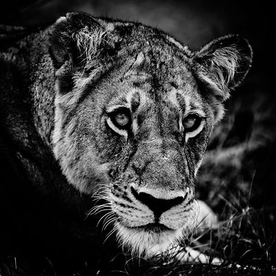 3302-Lioness_seems_to_smile_Laurent_Baheux