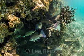 Fish along the Moat Wall for Fort Jefferson in Dry Tortugas National Park