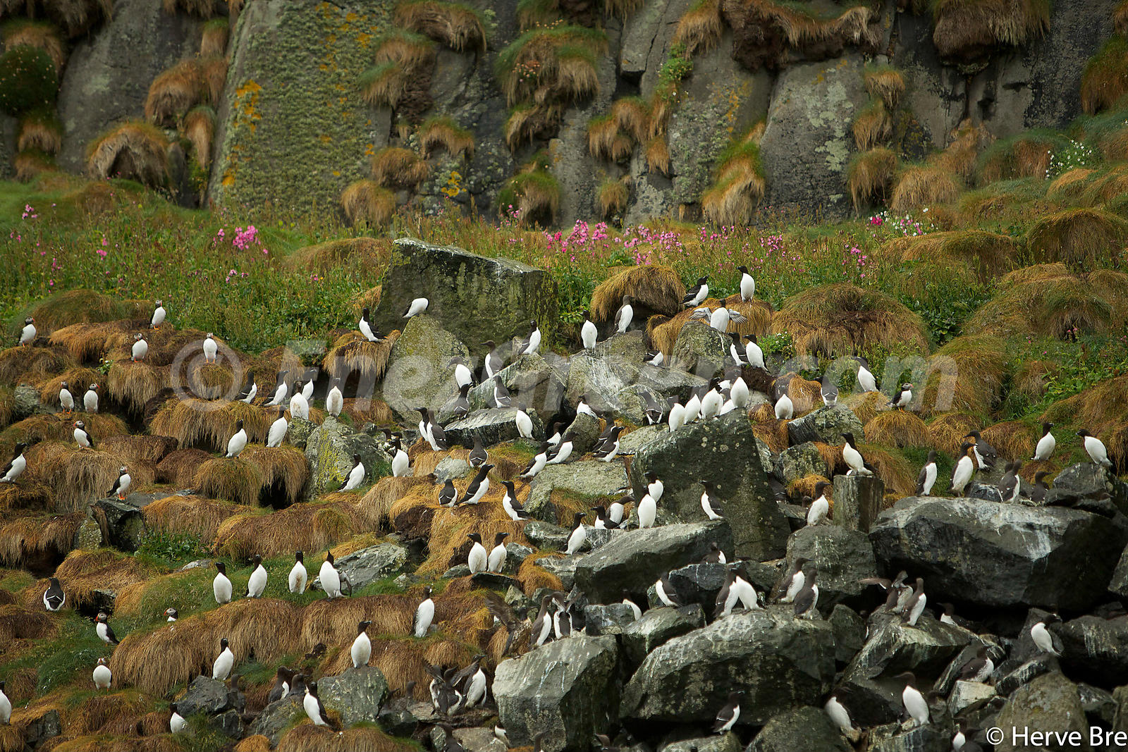 Razorbills in Outer Hebrides