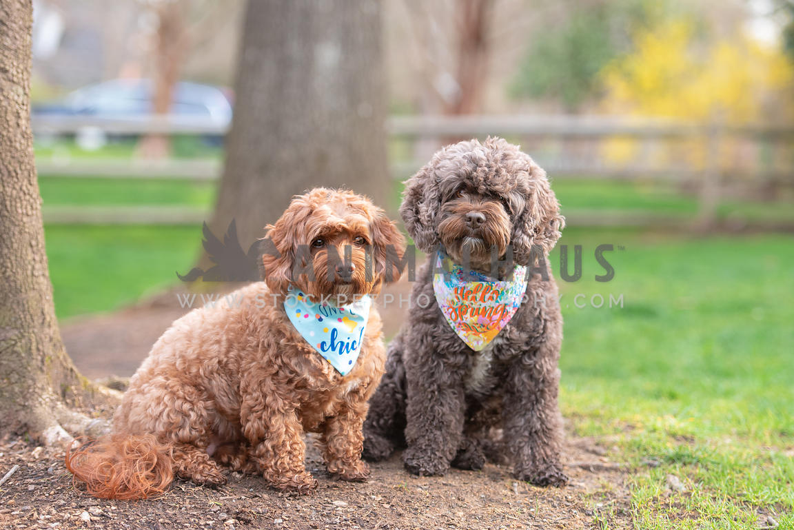2 cockapoos sitting next to each other wearing colorful bandanas