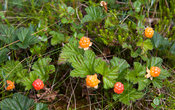 Cloudberries in Salamajärvi National Park