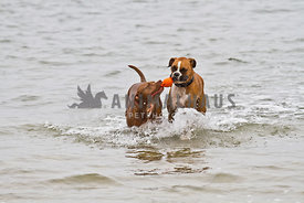 Pit Bull and Boxer retrieving orange toy from water