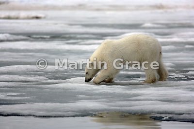 Young (about 18 months old) ear-tagged female Polar Bear (Ursus maritimus) niffing the ground, Holmiabukta, Svalbard