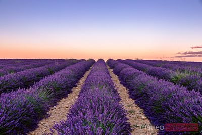Lavender field in full bloom at sunrise, Provence, France
