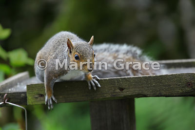 Grey Squirrel (Sciurus carolinensis) on a bird table in a Lake District garden, Cumbria, England