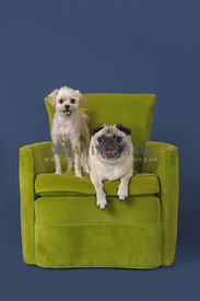 Two dogs in green chair on blue background