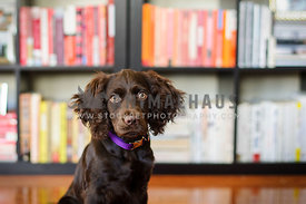 boyken spaniel in front of library of books