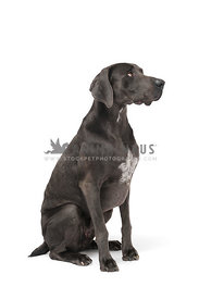 Blue weimaraner profile looking up on white background
