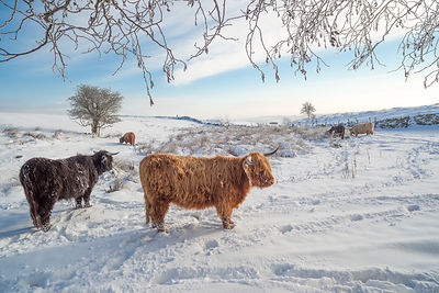 Higland cattle snow on Curbar Edge