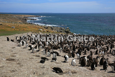 Southern Rockhopper Penguin (Eudyptes chrysocome chrysocome) colony, Cape Coventry, Pebble Island