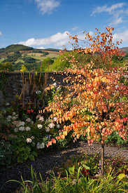 Autumn foliage of Cercidiphyllum japonicum and Hydrangea arborescens 'Annabelle' in walled garden