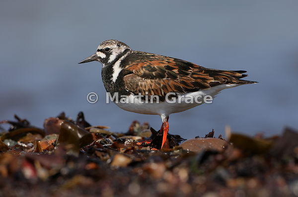 Male Ruddy Turnstone (Arenaria interpres) in breeding plumage, standing on two legs, Bigton Wick, Mainland South, Shetland