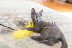 gray kitten playing with a yellow feather toy