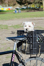 A small white dog sits in the basket of a bicycle
