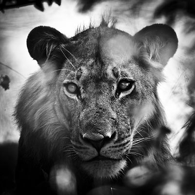 1843-Portrait_of_lion_Botswana_2010_Laurent_Baheux