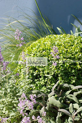 Association arbuste et vivace : Buxus sempervirens (Buis commun), arbuste persistant, Salvia officinalis (Sauge officinale), ...
