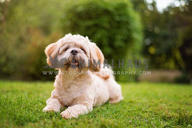 shih tzu puppy laying down on grass