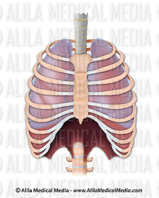 The thoracic region.