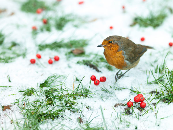 Robin in snow with berries