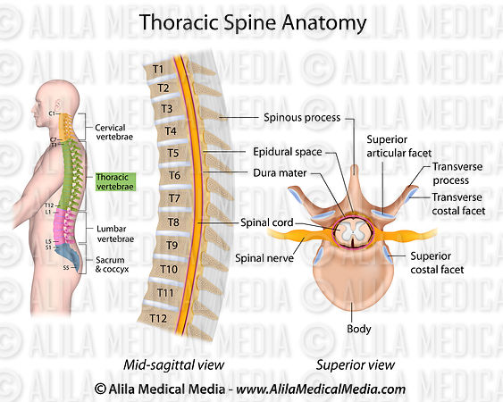 Thoracic Spine Anatomy