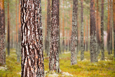 Plantation of  Fir trees with the background tress out of focus