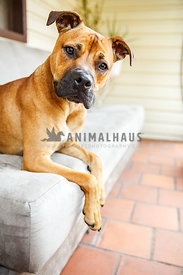 Red boxer mix lying on sofa looking worried