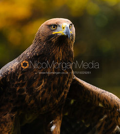 The Cottesmore Hunt's Golden/Steppe Eagle, Anna.