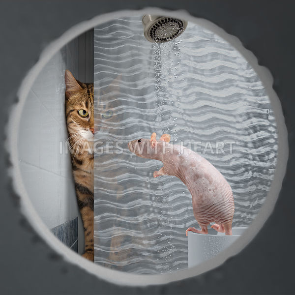 pyscho - cat stalking a naked rat taking a shower