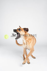 mixed breed rescue dog catching a tennis ball on a white background