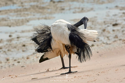 African sacred ibis standing on one leg