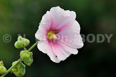 FRANCE, INDRE ET LOIRE, ROSE TREMIERE//France, Indre Et Loire, Hollyhock