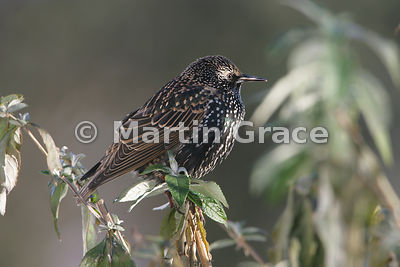 Common Starling (Sturnus vulgaris) in angular late afternoon sunlight, perching in a Buddleia bush, Lyth Valley, Cumbria, Eng...