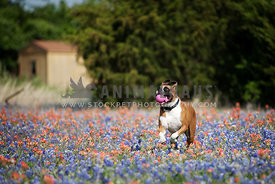 boxer running through wildflowers with ball