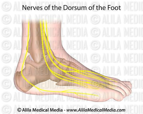 Nerves of foot