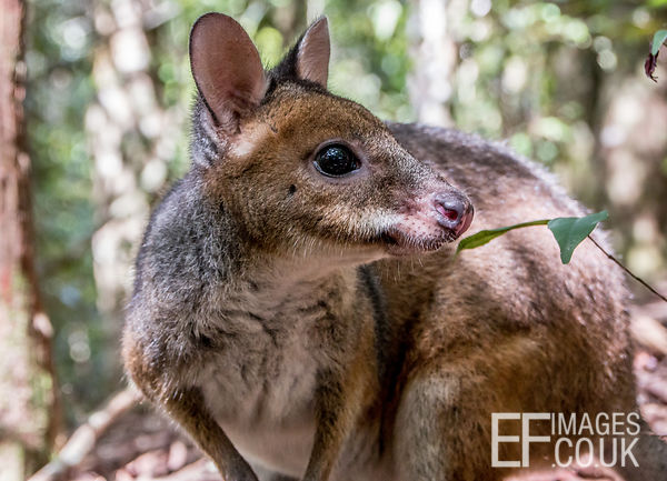 A Red Necked Pademelon - Like A Wallaby, But Different