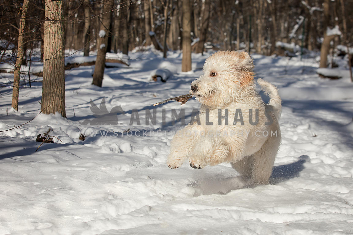 Animalhaus Media   Amusing white golden doodle dog playing with a