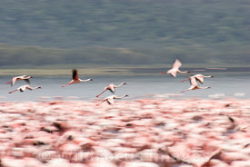 Lesser Flamingos (Phoenicopterus minor) , Lake Nakuru National Park, Kenya; Landscape