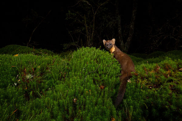 A Pine Marten comes to investigate the food I put in the mound of moss and stops for a moment to look at the camera