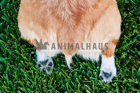 Corgi bum on grass