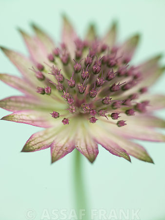 Astrantia flower