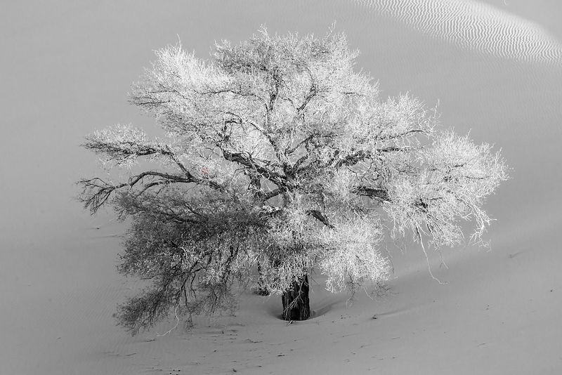 Camelthorn Tree against Namib Dunes