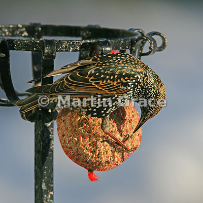 Starling (Sturnus vulgaris) feeding from a fat ball in a Cumbrian garden with the sun shining on its iridescent plumage, Lyth...