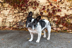 Frenchie head tilt in city