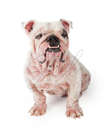 Large Dog With Demodectic Mange Sitting