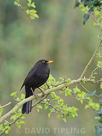 Blackbird, Turdus merula, male Norfolk May